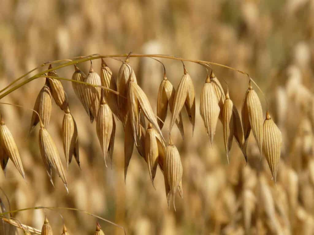 Image of oats on an oatmeal field, ready to be made into an oatmeal face mask