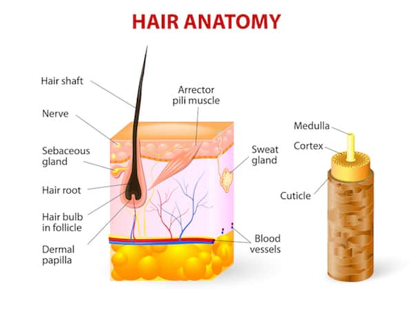 Diagram of the anatomy of a hair follicle and the skin of the scalp where the hair root is
